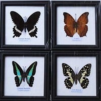 REAL MIXS 4 BUTTERFLIES DISPLAY INSECT TAXIDERMY IN FRAMED FOR COLLECTIBLES