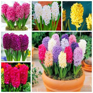 50 Pcs Real Hyacinth Seeds Green Plants(Not Hyacinth Bulbs) Easy To Grow Bonsai Balcony Flower Seeds For Home Garden