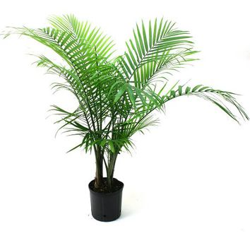 "Delray Plants Majesty Palm in 10"" Pot - Walmart.com"