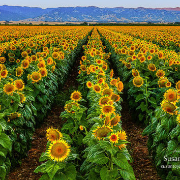 Sunflowers Print, California Flower Photo, Canvas Print, Large Wall Art, Bay Area Landscape Print, Archival Quality Prints, Susan Taylor Art