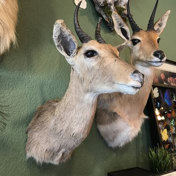 Reedbuck Taxidermy Shoulder Mount
