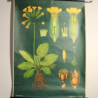 Vintage Botanical School Chart - Cowslip Flower Pull Down Chart - Botanical Poster - Original Vintage Jung Koch Quentell Luxury Wall Art