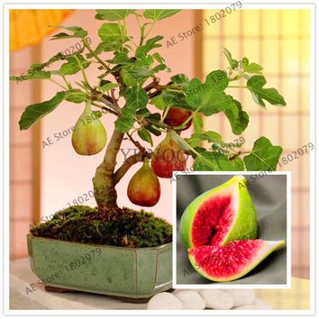 20 Sweet Honey fig fruit tree seeds - Fragrant - Figs tree,easy to grow,prennial plant ,bonsai plant for home courtyard