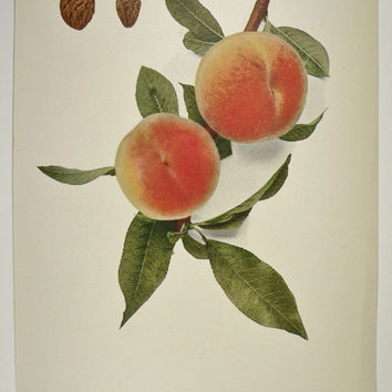 Old Fruit Peach Print Antique Vintage Peach Print Old 1917 Color Fruit Print Alton Peach Old Peach Print Botanical
