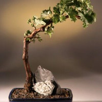 Wine Grape Bonsai Bonsai TreeTempranillo - Red