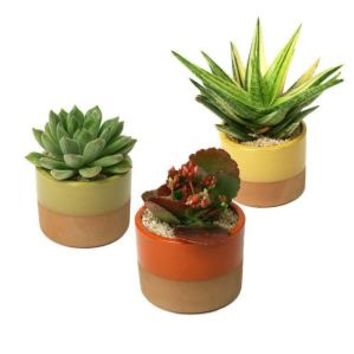 3.5 in. W x 3.5 in. D x 5 in. H Horizon Succulent Plant Assorted (3-Pack), 0881010 at The Home Depot - Mobile