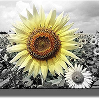Big Sunflower on Farm Picture on Stretched Canvas, Wall Art Decor, Ready to Hang!
