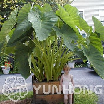 100 Seeds / Pack Heirloom Alocasia Macrorrhiza seeds Green Giant Taro Flower Garden Plant Elephant ears Sale  Indoor Plant Seeds