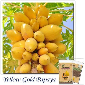 10 Yellow Gold Papaya  Heirloom Seeds, Delicious Fruit, Seeds Unique Very Rare