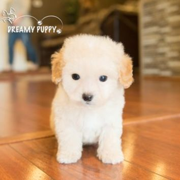 Buy a Toy Poodle puppy , from Dreamy Puppy available only at DreamyPuppy.com Place a $200.00 deposit online!