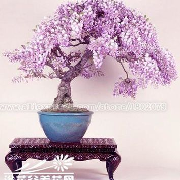 20PCS rare japanese wisteria bonsai tree seeds, potted flower seeds, Indoor perennial ornamental plants for DIY home & garden