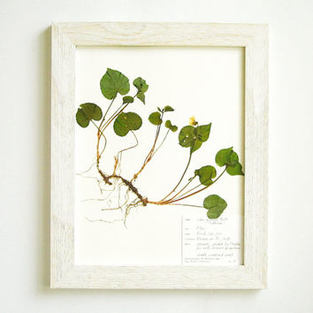 Real Violet Original Wildflower Herbarium Specimen Art, Dried Flower Pressed Botanical, 11x14 Framed