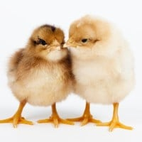Day-old chicks Photographic Print by Frank Lukasseck at Art.com