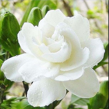 10PCS Cape Jasminoides Gardenia Fragrant Flower Seeds Shrub Plant Garden
