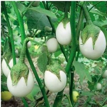 SD0581 White Bicolor Ginkgo Ornamental Eggplant Seeds, High Germinating Seeds, 60-Days Money Back Guarantee (20 Seeds)