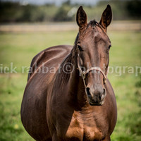 Horse Photography Instant Digital Download Fine Art Animal Photography Brown Horse Nature Equestrian Horse Lovers Horseback Riders