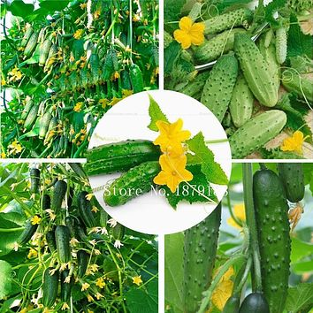 Vegetable Seeds Cucumber seeds Early Self-Pollinating Variety garden decoration plant 50pcs AA