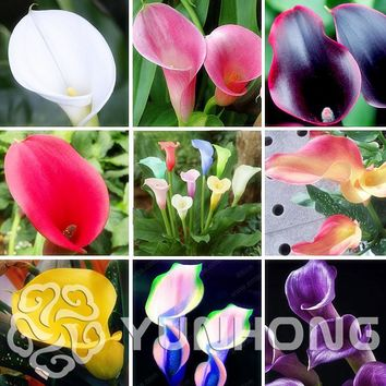 50 Colorful Calla lily Seed, Mixed Colors, RarePlants Flower Seeds, Home Gardening Potted Balcony Plant, Radiation Absorption