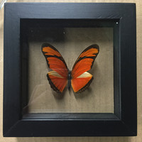 Double Glass Dryas Julia