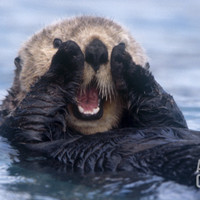 Sea Otters, Alaska, USA Photographic Print by Daisy Gilardini at Art.com