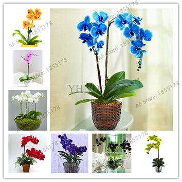 Best-Selling!100PCS Rare Orchid plante Flower flores Bonsai Phalaenopsis Orchid plantas Perennial Potted Plants For Home Garden,