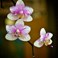 Pink and White Orchid Photography Print
