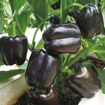 100 Black Sweet Pepper Seeds | Chilli Bell Capsicum Fruit Vegetable Seeds | Home Gardening DIY Plant Growing Decor