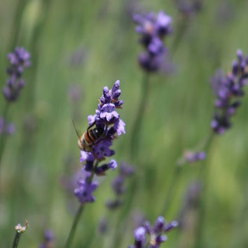 Bee On Deep Purple Lavender Spike by Colleen Cornelius