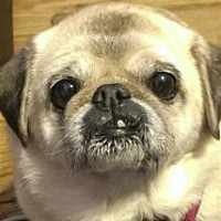 Fairfax Station, VA - Pug Mix. Meet Sugar a Dog for Adoption.