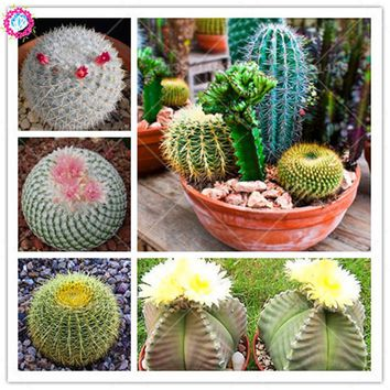 100 mixed cactus seeds Prickly pear succulent plant seeds lotus Lithops Pseudotruncatella seeds Bonsai plant for home garden