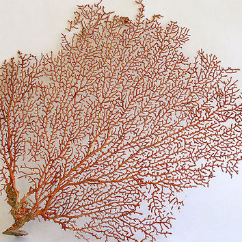 "Red Sea Fan (10-15"")"