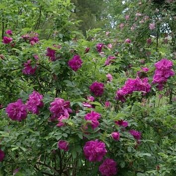 Red Rugosa Rose Bush Seeds (Rosa x rugosa Rubra) 25+ Seeds