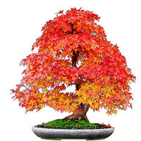 20X Hot Japanese Maple Tree Bonsai Seeds Acer Palmatum Atropurpureum Plant HU