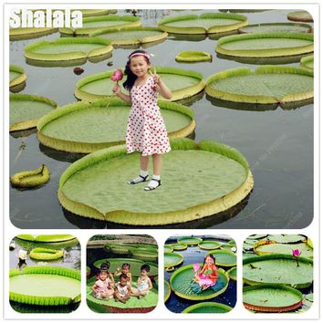 3 Pcs/bag Giant Lotus Seed Aquatic Water Lily Outdoor Potted Bonsai Four Seasons Planting Hydroponic Flower Plant For Kids Gift