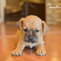 Buy a Puggle puppy , from Dreamy Puppy available only at DreamyPuppy.com Place a $200.00 deposit online!