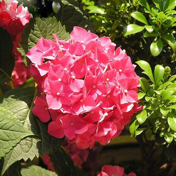 10PCS Rose Red Hydrangea Seeds balcony Bonsai Fort Viburnum Hydrangea Macrophylla Bonsai Plant Flower Seeds