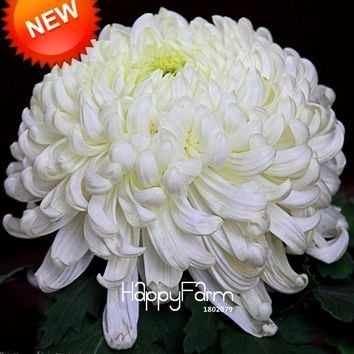 New Seeds 2017!Flower Seeds Potted White Chrysanthemum Seeds Beautiful Potted Plants Garden 100 Particles / lot,#P7CD1L