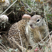 Ground Squirrel Photo Nature and Wildlife Photo Print Matted Free Shipping 8x10