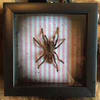 "Pink Striped Framed Real Tarantula in 6"" x 6"" Shadow Box"