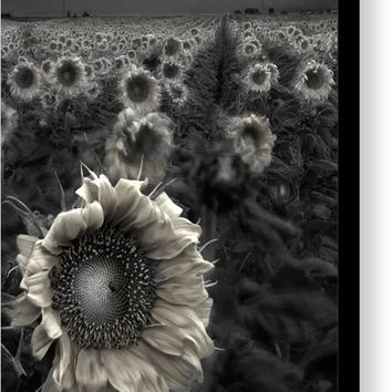Haunting Sunflower Fields 1 Canvas Print