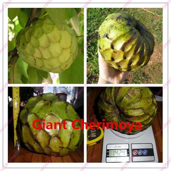 10 pcs Custard apple fruit, Buddha's head fruit, Rare Giant Cherimoya seeds,Sugar Apple, SweetSop, Annona Tree Seeds
