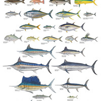 Print Essentials | Saltwater Gamefish