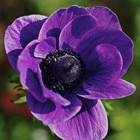 10 Lavender Purple Poppy Himalayan Flower Seeds - Very Rare  and Exotic by Attract Butterflies