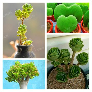 200pcs/bag mixed Succulent plants meaty plant Flower seeds Bonsai plants Seeds Greenovia Flower for home & garden