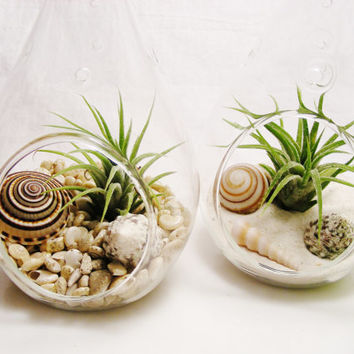 Teardrop Glass Terrarium Kit with Tillandsia  Air Plant ~ Choice of Sand or Pearlized Umbonium Shells ~ Gift idea