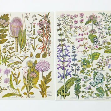Botanical Drawings, vintage botanical  illustrations, old botanical prints of flowers, purple flowers, pink flowers