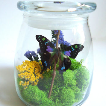Butterfly terrarium - Real butterfly specimen - unique gift - insect display - Graphium weiskie - taxidermy - nature - entomology