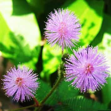 New 1 Pack 30 Seeds Foliage Mimosa Pudica Sensitive Garden Plant seed LSCA .L
