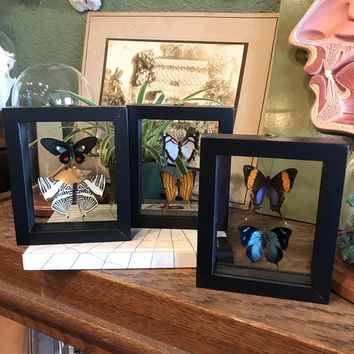Mounted Double Butterfly Collection