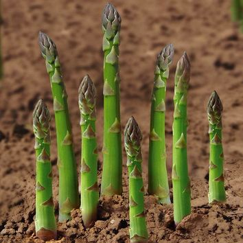 Hot asparagus seed vegetable seeds 5seed